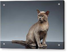 Burma Cat Sits And Loocking Up On Gray Acrylic Print