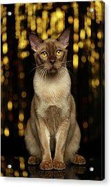 Burmese Cat Sits On New Year Background Acrylic Print