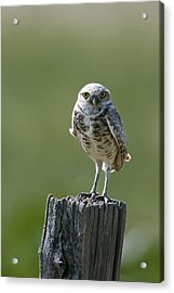 Acrylic Print featuring the photograph Burrowing Owl by Gary Lengyel