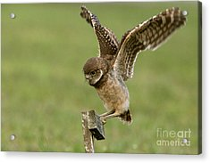 Burrowing Owl - Learning To Fly Acrylic Print by Meg Rousher
