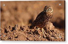 Burrowing Owl Looking Back Over Shoulder Acrylic Print by Max Allen