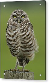 Burrowing Owl Lookout Acrylic Print