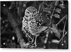 Burrowing Owl  Selective Color Eyes Acrylic Print