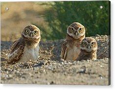 Burrowing Owls Acrylic Print by Doug Herr