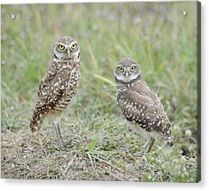 Burrowing Owls Nesting Acrylic Print by Keith Lovejoy