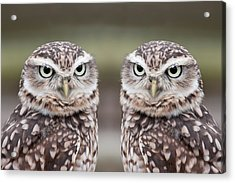 Burrowing Owls Acrylic Print by Tony Emmett