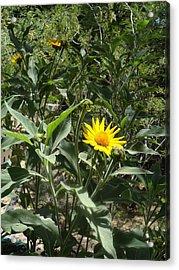Burst Of Sun Flower Acrylic Print