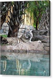Busch Tiger Acrylic Print by Wayne Skeen