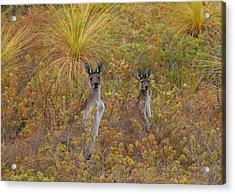 Bush Kangaroos Acrylic Print