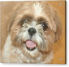 Buster Acrylic Print by Amy Holmes