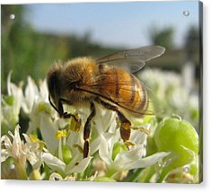 Busy Bee 6 Acrylic Print by Rebecca Shupp