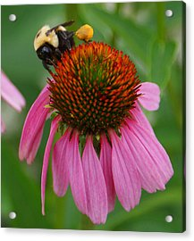 Busy Bee Acrylic Print by Jean Haynes