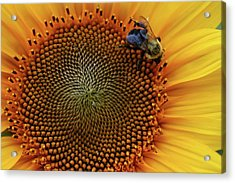 Busy Bee Acrylic Print by Mike Martin