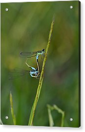 Busy Damsels Acrylic Print by Kathy Gibbons