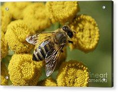 Busy Honey Bee Acrylic Print
