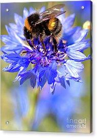 Busy Little Bee Acrylic Print