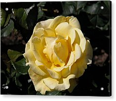Butter Rose Acrylic Print by William Thomas