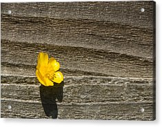 Buttercup And Wood Acrylic Print by Peter Jarvis