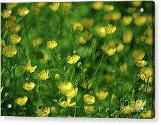 Buttercup Field- Butler Creek Trail- Gresham- Oregon Acrylic Print