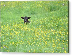 Buttercup Acrylic Print