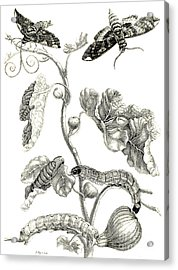 Butterflies, Caterpillars And Plant Acrylic Print by Maria Sibylla Graff Merian