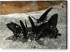 Butterflies Drinking Acrylic Print