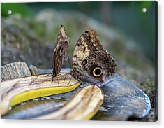 Acrylic Print featuring the photograph Butterflies Eating Bananas by Raphael Lopez