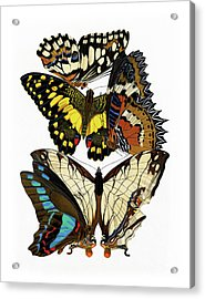 Butterflies, Lush Vintage Etomology Illustration Acrylic Print by Tina Lavoie