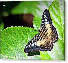 Butterfly 13a Acrylic Print