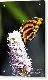 Butterfly 2 Acrylic Print by Tom Prendergast