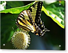 Butterfly 4 Acrylic Print