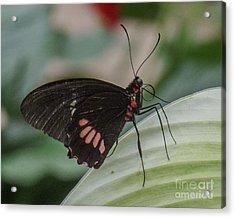 Butterfly 8 Acrylic Print