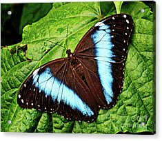 Butterfly 6 Acrylic Print
