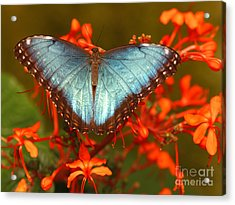 Butterfly Among The Flowers Acrylic Print by Max Allen