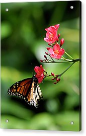 Butterfly And Blossom Acrylic Print