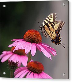 Butterfly And Coneflower Acrylic Print
