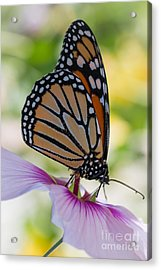 Butterfly And Hibiscus Acrylic Print