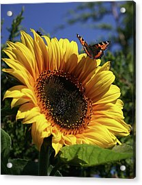 Butterfly And Sunflower Acrylic Print by Martina Fagan