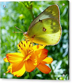 Butterfly And Yellow Cosmo Flower Acrylic Print