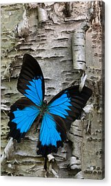 Butterfly Acrylic Print by Andreas Freund