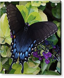 Acrylic Print featuring the photograph Butterfly Beauty Brown And Blue 2 by Kicking Bear  Productions