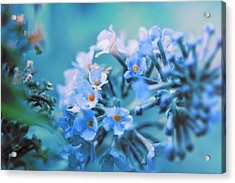 Acrylic Print featuring the photograph Butterfly Bush by Douglas MooreZart