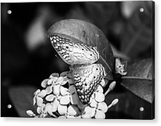 Butterfly Bw - Ins18 Acrylic Print by G L Sarti