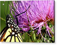 Butterfly On Bull Thistle Acrylic Print