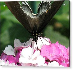 Butterfly Cup Acrylic Print by Debra     Vatalaro
