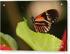 Butterfly Curling Edge Of Leaf Acrylic Print by Max Allen