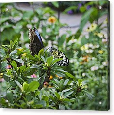 Butterfly Dance Acrylic Print by Christina Durity