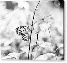 Butterfly Eatting  Acrylic Print