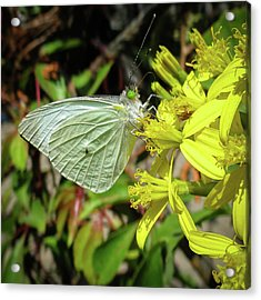 Butterfly Feasting On Yellow Flowers Acrylic Print