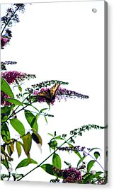 Butterfly Garden II Acrylic Print by Coralyn Klubnick Simone